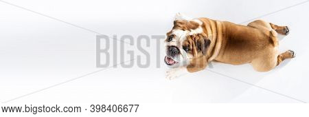 Lets Look At The Fat Dog Lying On The Floor From Above. The English Bulldog Was Bred As A Companion