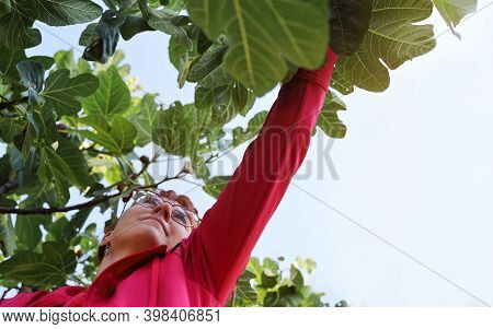 Young Woman Trying To Reach For The Take Fruit Fig Among The Leaves On The Tree Against The Sky