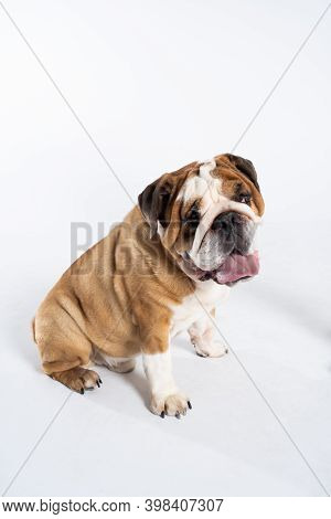 The Dog Is Sitting And Panting With Its Tongue Outstretched. The English Bulldog Was Bred As A Compa