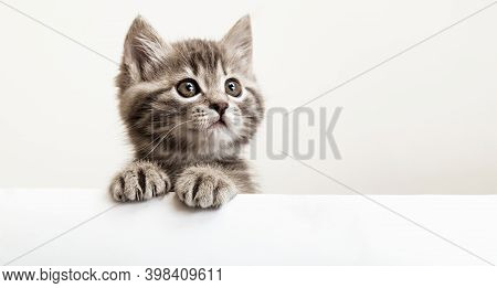 Kitten Head With Paws Up Peeking Over Blank White Sign Placard. Pet Kitten Curiously Peeking Behind