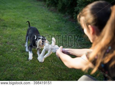 Cute Miniature Schnauzer Pulling His Toy From Girl's Hand On Lawn In Backyard. Dog Playing Favorite
