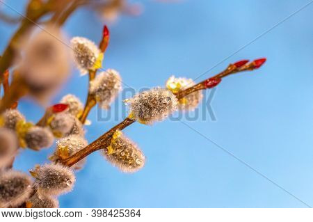 Willow Branches With Fluffy Catkins And Dewdrops On A Blue Background