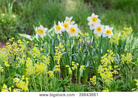 White and yellow narcissus on landscaping design flower bed
