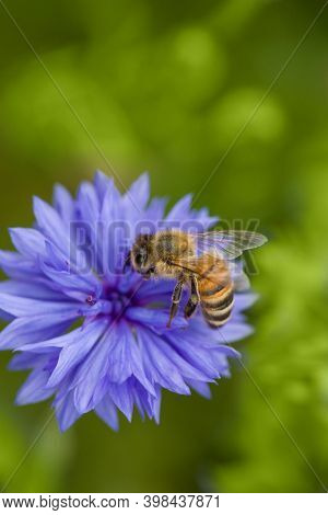 Bee on cornflower flower. Insect collects nectar for honey. Spring or summertime scene