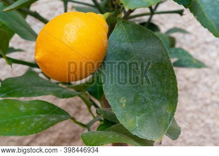 Closeup Of A Small Lemon With A Green Leaf With Some Cobweb From A Small Lemon Tree