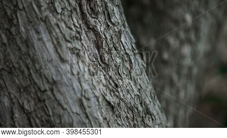 Cracked Bark Of The Old Trunk Tree In Autumn Forest. Wooden Textured Background