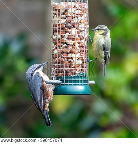 Wood nuthatch, Sitta europaea, and juvenile blue tit, Cyanistes caeruleus, feed from a hanging garden feeder of raw peanuts. Lush foliage background and space for text.
