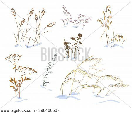 Set Of Wild Herbs And Cereals Under The Snow Isolated On White Background. Simple Dried Oats, Thistl