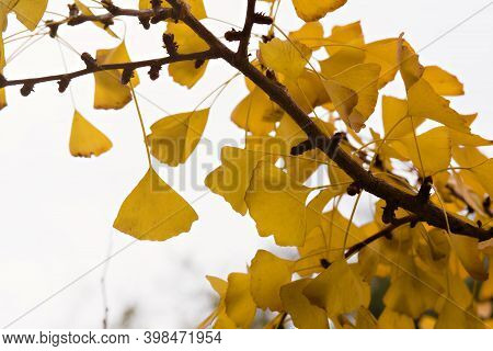 Close Up Of Golden Yellow Leaves On A Gingko Tree