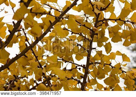 Close Up Up Photo Of Branches Filled With Yellow Leaves On A Gingko Tree In San Francisco, Californi