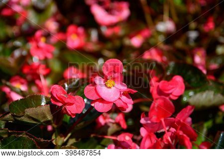 Delicate Flowers Of A Pink Oleander, Nerium Oleander, Bloomed In The Spring. Shrub, A Small Tree Fro