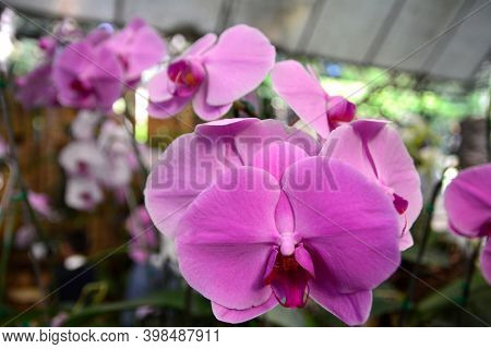 Pink Phalaenopsis Or Moth Dendrobium Orchid Flower.  Pink Orchids Isolated On Blur Background. Butte