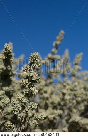 Green Bracted Immature Utricle Fruit Of Fourwing Saltbush, Atriplex Canescens, Amaranthaceae, Native
