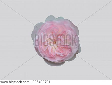 Blooming Rose Plant On A Gray Background.