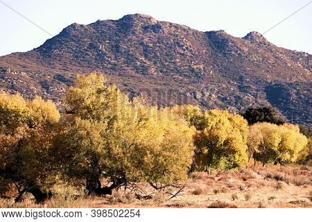 Cottonwood Trees Changing Colors During Autumn On A Creekbed At A Riparian Woodland Surrounded By Ar