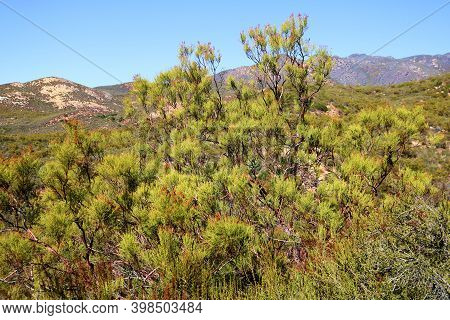 Drought Tolerant Chaparral Shrubs On An Arid Plateau Taken At A Chaparral Woodland In The Rural Sout