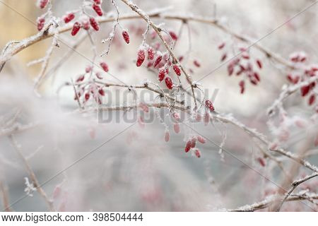 Forest Berries Of Barberry, Branch Covered Hoarfrost, Close-up. Natural Landscape, Snowy Winter.