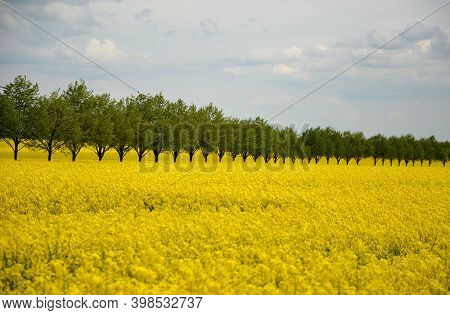 Rapeseed Rape Is An Annual Or Biennial Crop, Grown For Oilseeds, Used Mainly For The Production Of O