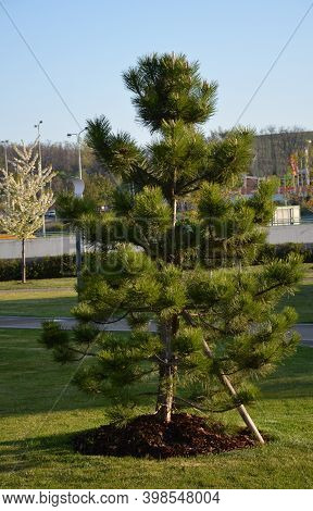 Black Pine Pinus About 20 Years Old In The Park On The Lawn Dense Crown Symmetrical Dense Longer Nee