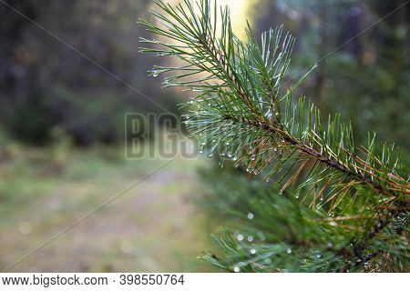 Closeup Of Green Pine Tree Branches After Rain In Forest. Spruce Tree After The Rain. A Bright Everg