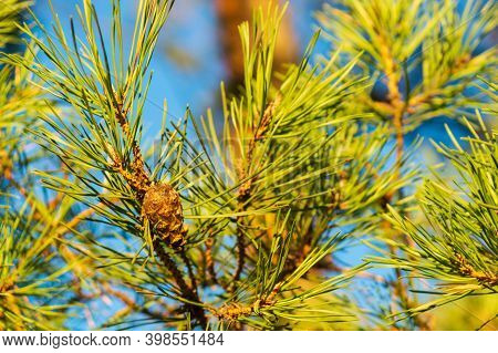 Single Closed Brown Lodgepole Pinecone On A Pine Branch With Green Needles In Forest Of Mountains