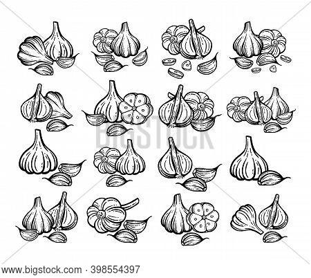 Garlic Sketch. Hand Drawn Garlic Set. Isolated Vector Drawings.