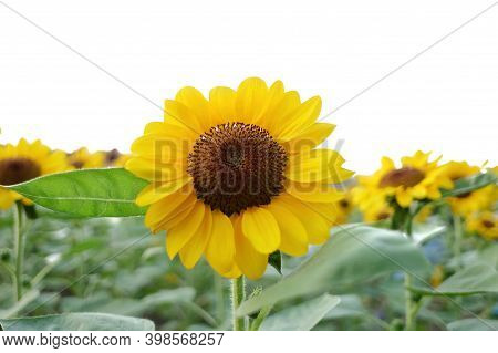 A Yellow Sun Flower  Blossom With Green Leave And Sun Light On White Isolated Background