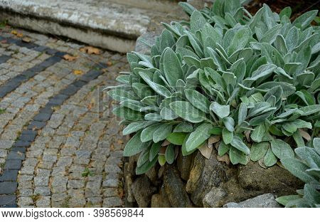 Is A Perennial, Evergreen Subshrub, With Woody Stems, Grayish Leaves, And Blue To Purplish Flowers.