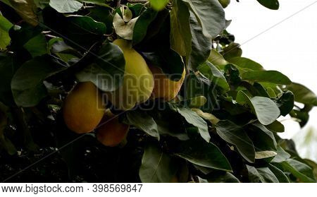 Quince Is Grown For Fruit Less Than Any Of The Other Fruit Trees Or Shrubs. Used As A Base For Other