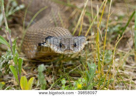 Hognosed cobra