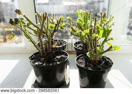 Geraniums In Pots On The Windowsill. Cut Stems Of Geranium Flower Prepared For Winter Hibernation