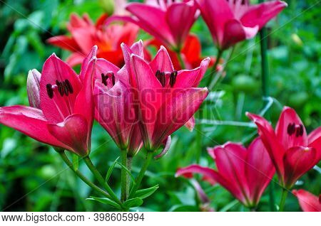 Beautiful Bright Daylilies In A Flower Bed. Red Flowers Are Daylilies Or Hemerocallis. Daylilies On
