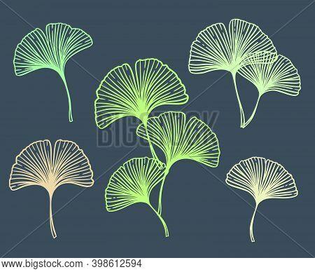 Ginkgo Or Gingko Biloba Leaves Set. Nature Botanical Vector Illustration, Herbal Medicine Graphic Is