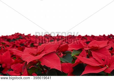 Growing Red Flowers Of Poinsettia, Also Known As The Christmas Star Or Bartholomew Star, Close-up Wi