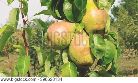 Big Pear Fruit On A Branch. Pear Fruit Hanging From The Branches Of A Pear Tree. Pear Variety Maria