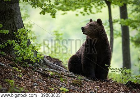 Massive Brown Bear Sitting On The Ground Surrounded By Green Leaves In Woodland