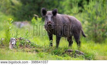 Wild Boar Standing On Grassland In Summertime Nature