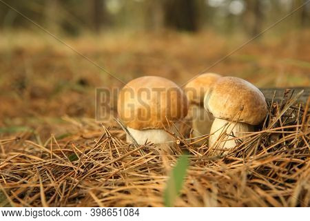 Small Porcini Mushrooms Growing In Forest, Closeup