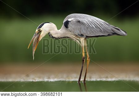 The Grey Heron (ardea Cinerea) With Caught Fish. The Great Gray Heron Swallows The Caught Fish. Fish