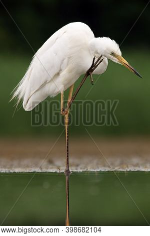 The Great Egret (ardea Alba), Also Known As The Common Egret Or (in The Old World) Great White Heron