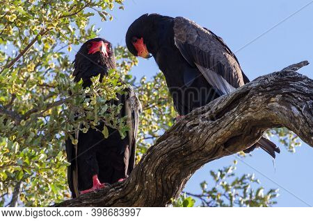 Pair Of Adult Bateleur Eagles (terathopius Ecaudatus) Perched Together In A Tree In Kruger National