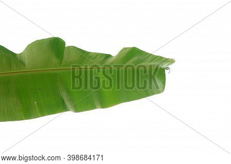 A Tropical Banana Leaf On White Isolated Background For Green Foliage Backdrop With Copy Space