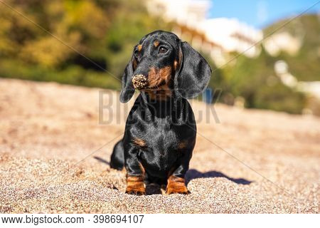 A Funny Dachshund Puppy Sits After Fun Games On The Beach, Smearing His Nose In The Sand.