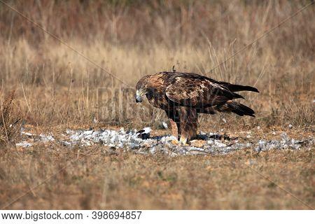 The Golden Eagle (aquila Chrysaetos) Feeding On Prey - Pigeon. Golden Eagle Plucking A Pigeon. Big E