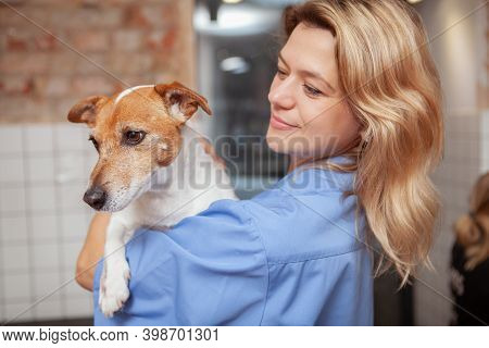 Close Up Of A Cute Jack Russel Terrier Cheerful Female Vet Is Holding. Lovely Vet Doctor Holding Ado