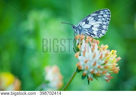 Melanargia Galathea. Butterfly In Nature. Beautiful Picture. Wild Nature. Color Photograph. Butterfl