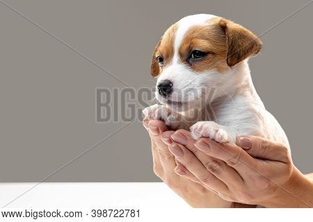 Cute And Little Doggy Posing Cheerful In Comfortable Human Hands. Cute Playful Brown White Doggy Or
