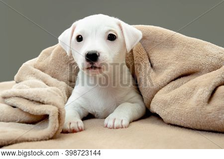 Cute And Little Doggy Posing Cheerful In Comfortable Soft Plaid. Cute Playful White Doggy Or Pet On