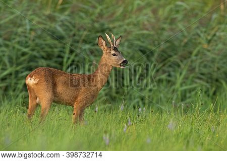 Roe Deer Buck Chewing On Grassland In Summertime Nature