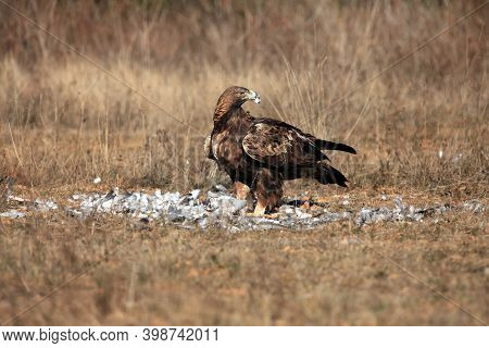 The Golden Eagle (aquila Chrysaetos) Feeding On Prey. A Large Eagle In A Meadow With A Pigeon As Pre